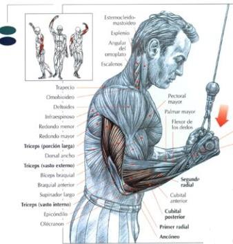 extensiones_de_triceps_en_polea_ata_supinacion